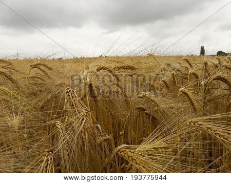 Summer rain over the barley field Wet heavy ears of barley Rainy day The concept of labor and nature