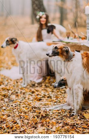 Beautiful bride with her collies in the autumn forest.