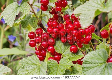 Fresh bunch of red virburnum on branch. After rain photo. Fresh organic guelder rose with green leaves in village garden. Seasonal fruit, fall harvest and medicinal plant concept.