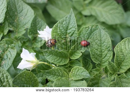 Larva and adult Colorado potato beetle (Leptinotarsa decemlineata) on potato leaves