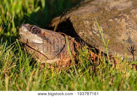 Close-up of a Wisconsin Common Snapping Turtle (Chelydra serpentina) in the summer afternoon
