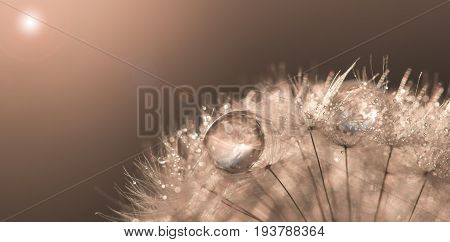 Dandelion with drops of gold and sunlight. Beautiful artwork macro. Solar flare. Soft selective focus