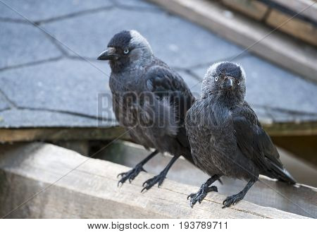 jackdaw - Corvus monedula - close up