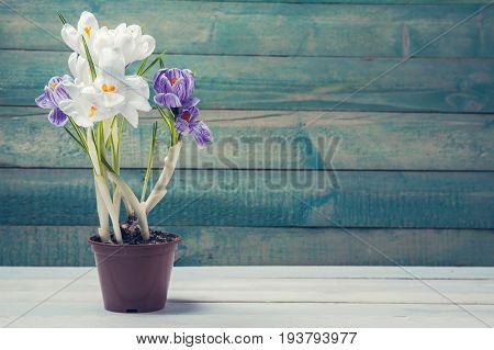 Flower pot with crocus on wooden background