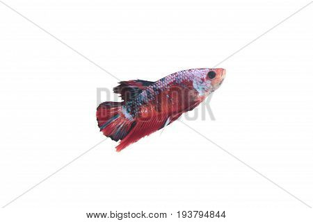 Koi fighting fish On a white background.