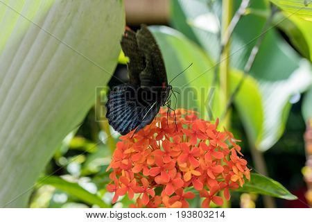 Exotic Butterfly on flowers, beautiful butterfly and flower in the garden of tropical Bali island, Indonesia. Close Up butterfly on flower.