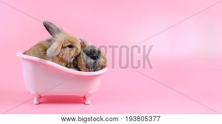two brown fluffy bunny in pink bathtub on pink background story for playboy Bathing Bunny Rabbit can breed all the time. copy space