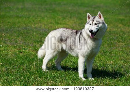 Young dog breed Alaskan Malamute on background green grass