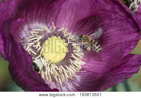 bees (apis mellifera) on a poppy flower