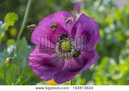 bees apis mellifera in a poppy flower