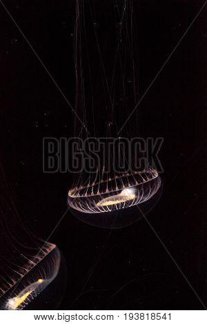 Crystal Jellyfish Aequorea Victoria Is A Bioluminescent Hydrozoan Jellyfish