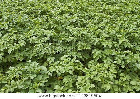 detail of bio potato plants suitable for agricultural background