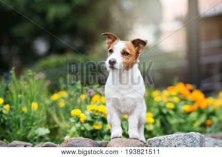 jack russell terrier dog posing in a field of flowers