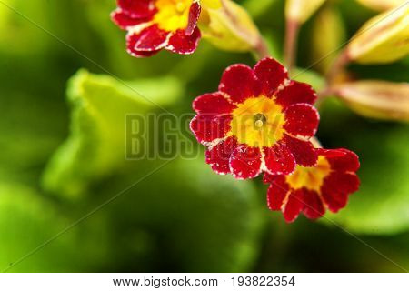 Perennial primrose or primula in the spring garden. Spring primroses flowers, primula polyanthus. Red primroses in spring woods. Primroses in spring. The beautiful colors primrose flowers garden.