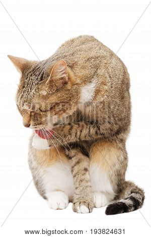 Portrait Of A Cat Licking His Paw