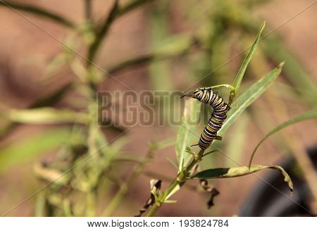Monarch Caterpillar, Danaus Plexippus, In A Butterfly Garden