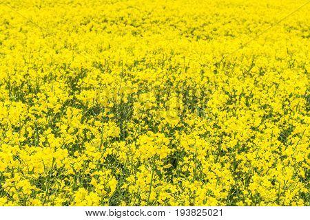 Canola, Rapeseed, Colza Flowers Background