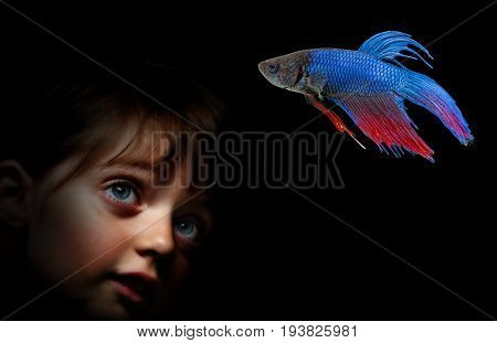 little girl behing aquarium with Betta splendens - siamese fighting fish on a black background