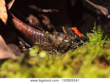 Red-backed poison dart frog Ranitomeya reticulata found in the rainforests of South America