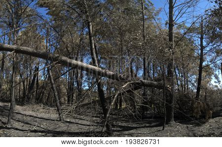 Fully grown pine trees broken down and burnt in the forest by the wind and fire of a firestorm. Pedrogao Grande Portugal.