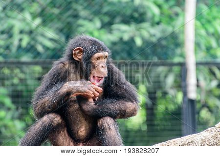 close up of a baby chimpanzee in a zoo.