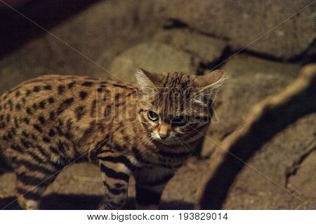 Black-footed Cat Felis Nigripes