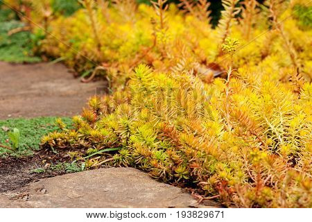 Creeping garden plant Sedum reflexum (Angelina) beautiful slow-growing perennial succulent groundcover with fleshy golden leaves reflexed stonecrop stone orpine prick-madam.