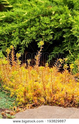 Sedum reflexum (Angelina) beautiful slow-growing perennial succulent groundcover with fleshy golden leaves creeping reflexed stonecrop stone orpine prick-madam.