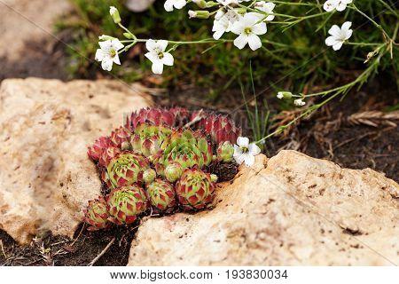 Sempervivum tectorum (Common Houseleek) - perennial plant of the genus Sempervivum ornamental plant growing between sandstone. Hen and chicks or stone rose in the garden.