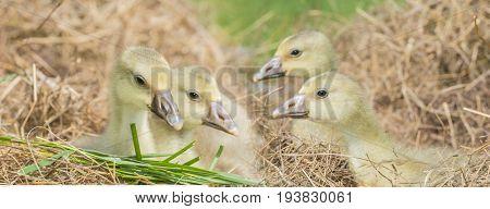 white goose; gosling;  ( Anser anser domesticus )