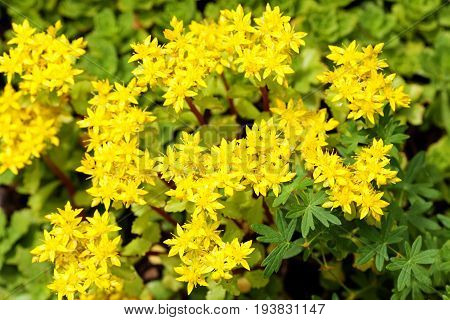Sedum acre plant (stonecrop or wall-pepper) in full bloom with yellow flowers on garden ground. Selective focus. Top view.