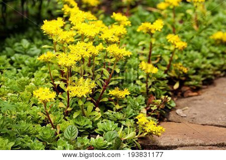Sedum acre plant (stonecrop or wall-pepper) in bloom with yellow flowers on garden ground near sandstone road. Selective focus.
