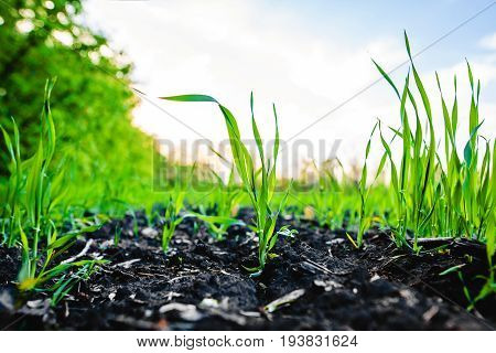 Sprouting Field Of Maize, Corn