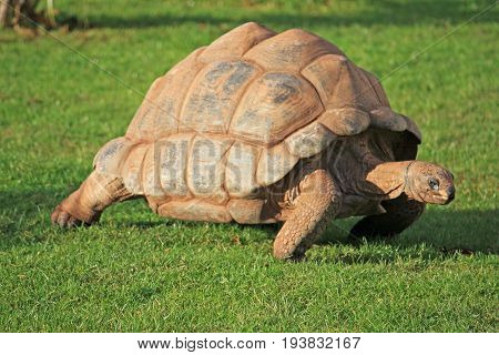Giant tortoise walking in a grassy field
