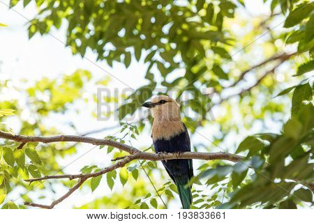 Northern Purple Roller Called Coracias Naevius Naevius