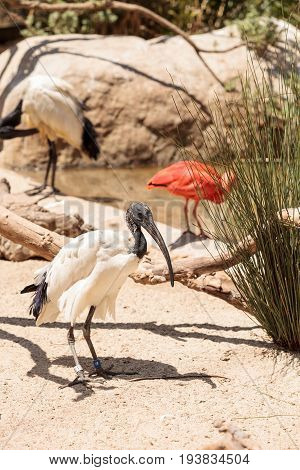 African sacred ibis called Threskiornis aethiopicus is found in the sub-Saharan Africa