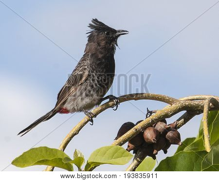 Beautiful Red Vented Bulbul Bird Perched On Tree Branch
