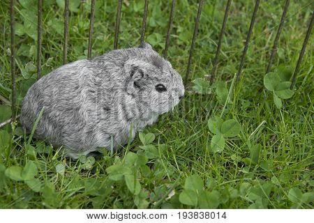 a guinea pig in grass close up