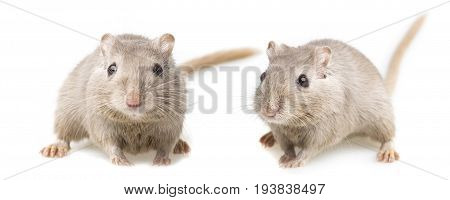 cute gerbils isolated on a white background