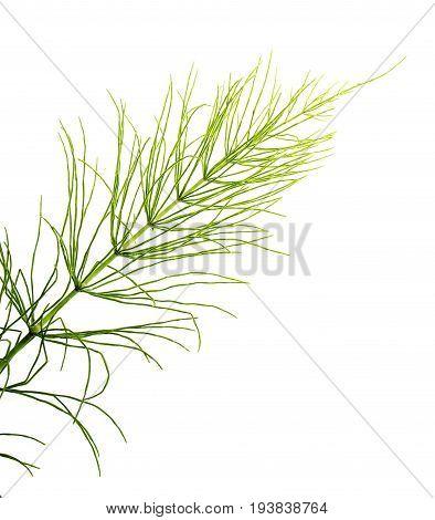 Equisetum arvense - Horsetail herb isolated on white