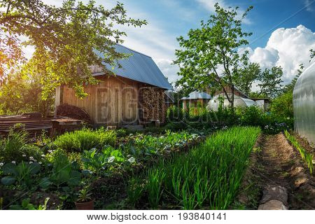 Green garden with wooden buildings, apple trees, fresh and lush onion and herbs plantations