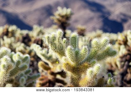 Silver cholla cactus sprouting new growth within Joshua Tree National Park in Joshua Tree California.