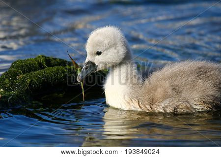 A mute swan cygnet with a stem of vegetation in its beak
