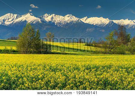 Beautiful snowy mountains and rapeseed field in Transylvania Fagaras-mountains Carpathians Romania Europe