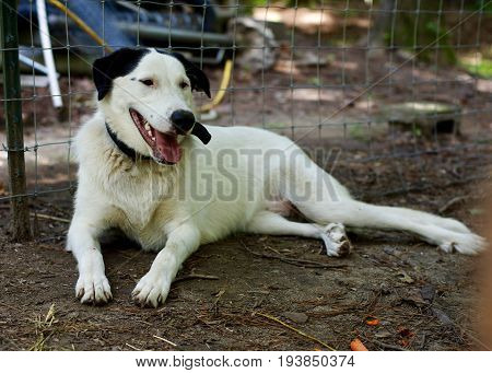 Great Pyrenees mix dog, white with black ears, eyes and nose, reclined in pen on hot summer day
