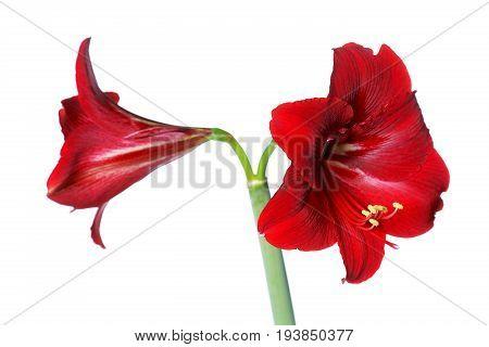 Red amaryllis isolated on white background close up