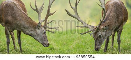 Cervus elaphus - a deer in nature