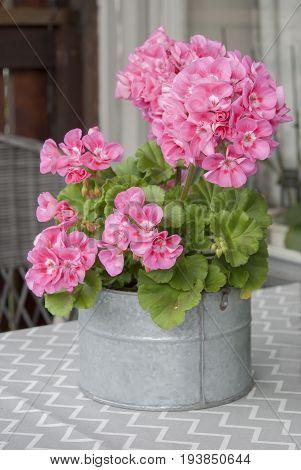 Pink geranium in zink pot in summer