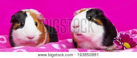 cute guinea pigs - pink background close up