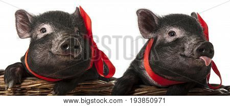 a cute little black pigs sitting in a basket - white background